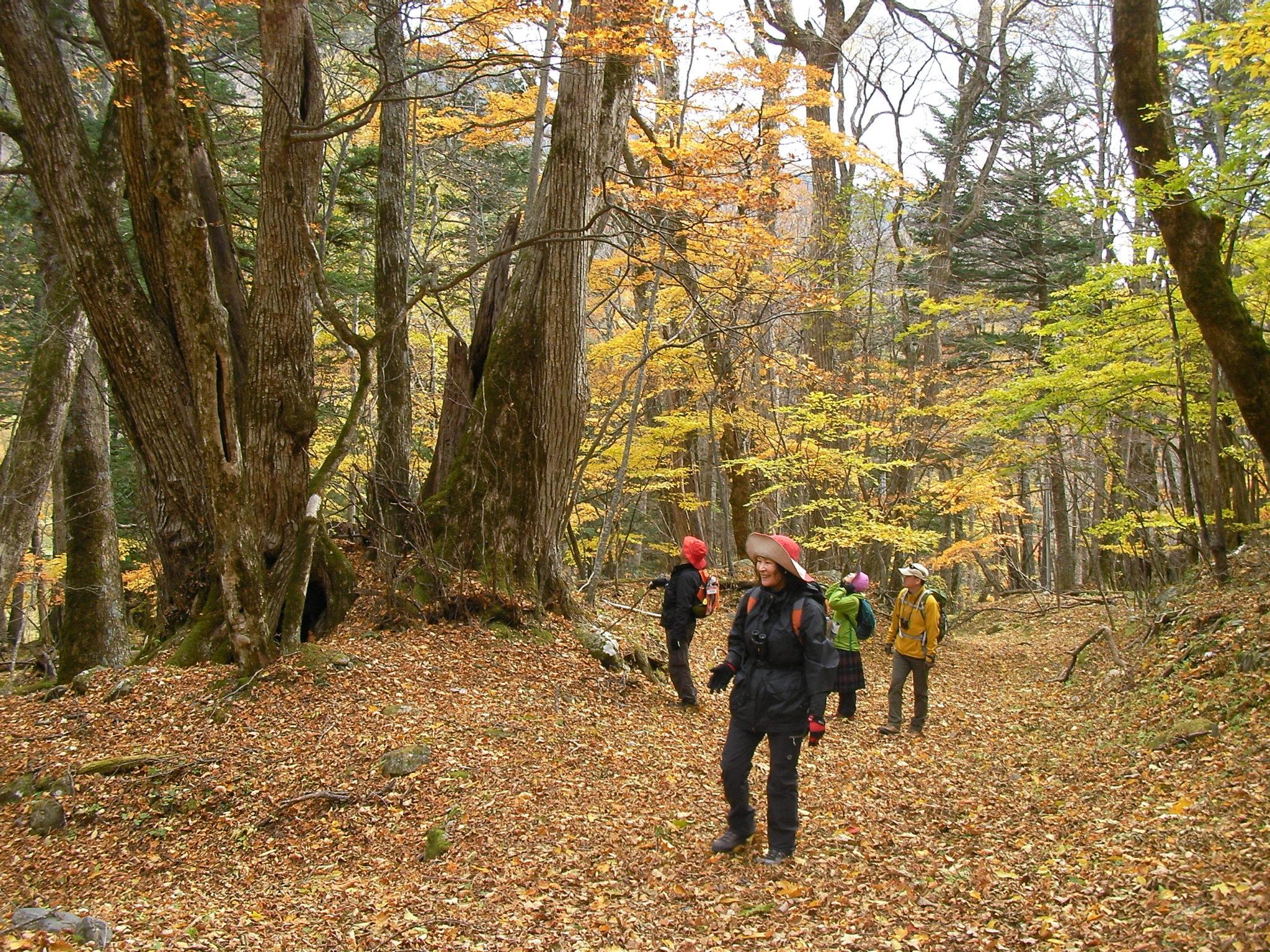 南アルプス広河原 紅葉の森ハイキングツアー