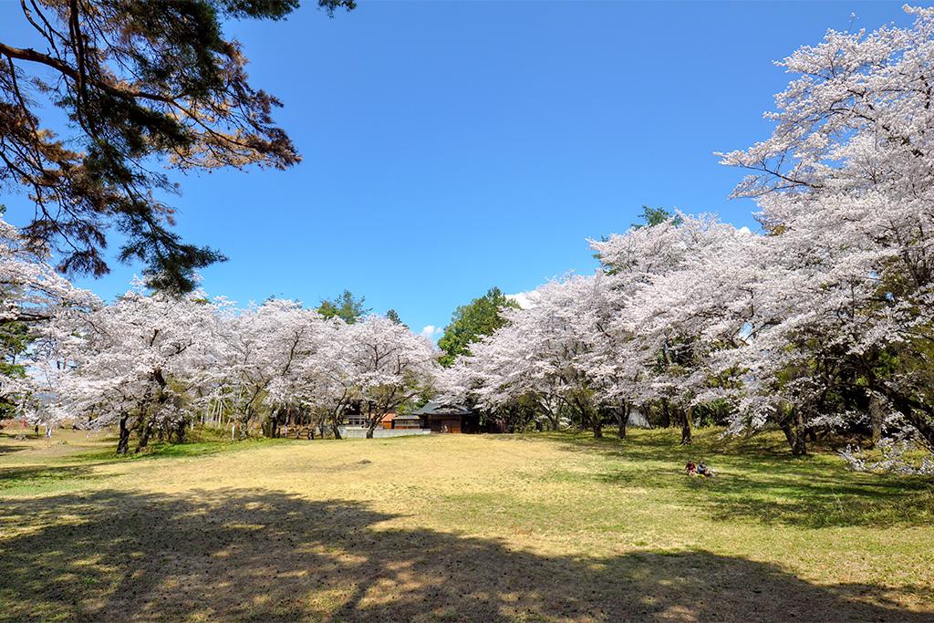新府城跡の桜