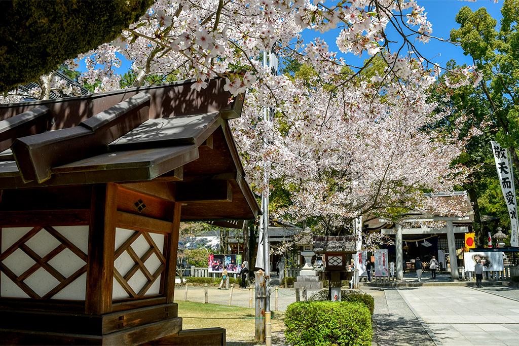 武田神社/武田通りの桜