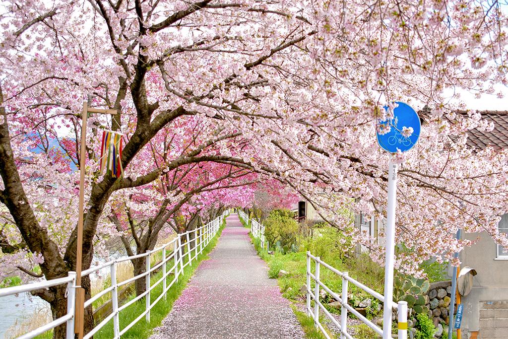 貢川遊歩道の桜