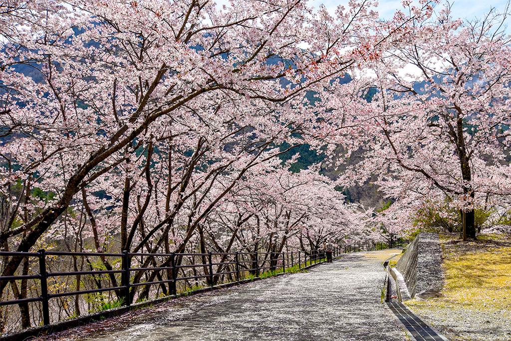 御坂路さくら公園の桜