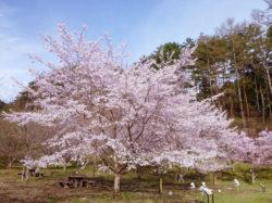 三ツ峠さくら公園 西桂町 遊ぶ学ぶ 公園 5