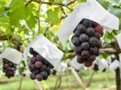 (有)マルサン葡萄酒/若尾果樹園 甲州市 遊ぶ学ぶ 3