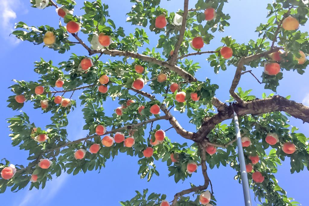 フルーツガーデン イチフル 笛吹市 観光農園・フルーツ狩り 5