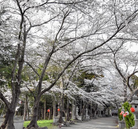 富士御室浅間神社の桜
