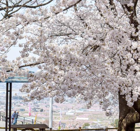 花鳥山一本杉公園の桜