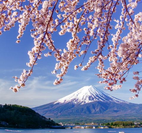 河口湖北岸の桜