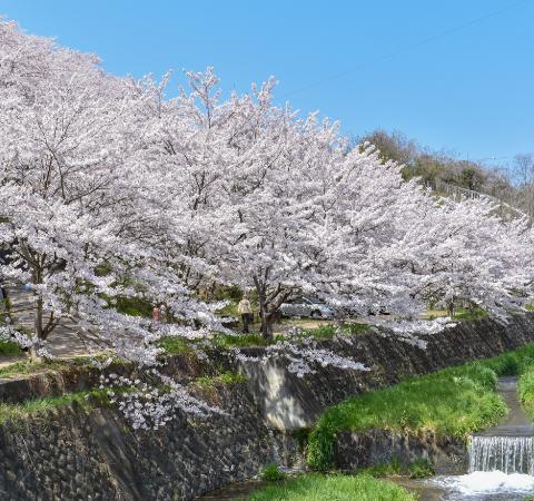 荒神山の桜
