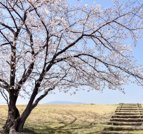 信玄堤公園の桜