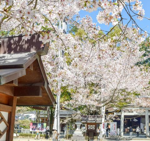 武田神社 武田通りの桜