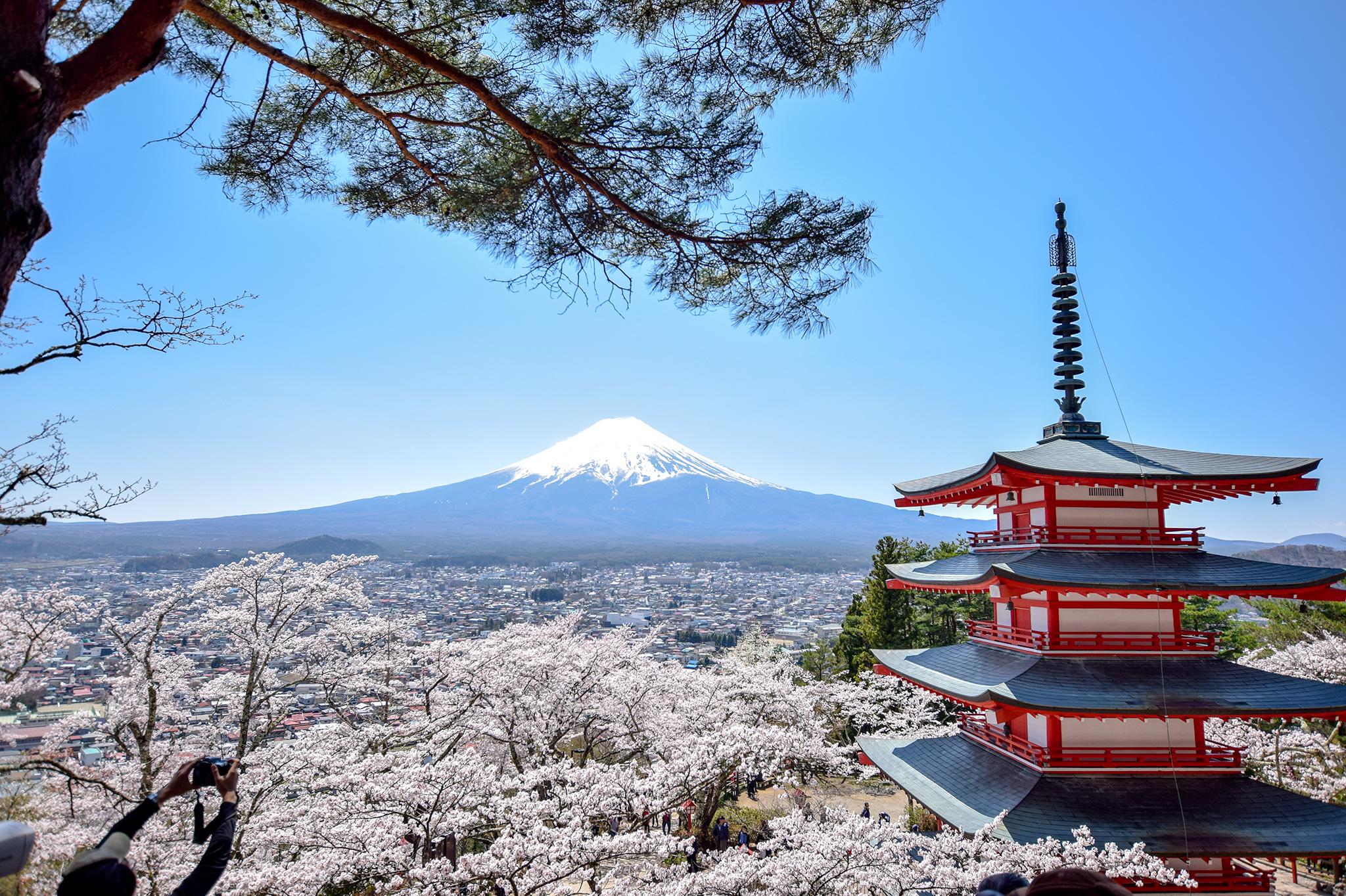新倉山浅間公園の桜 写真1