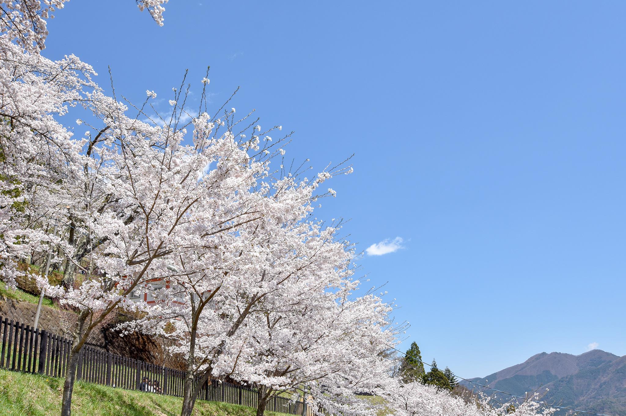 新倉山浅間公園の桜 写真4