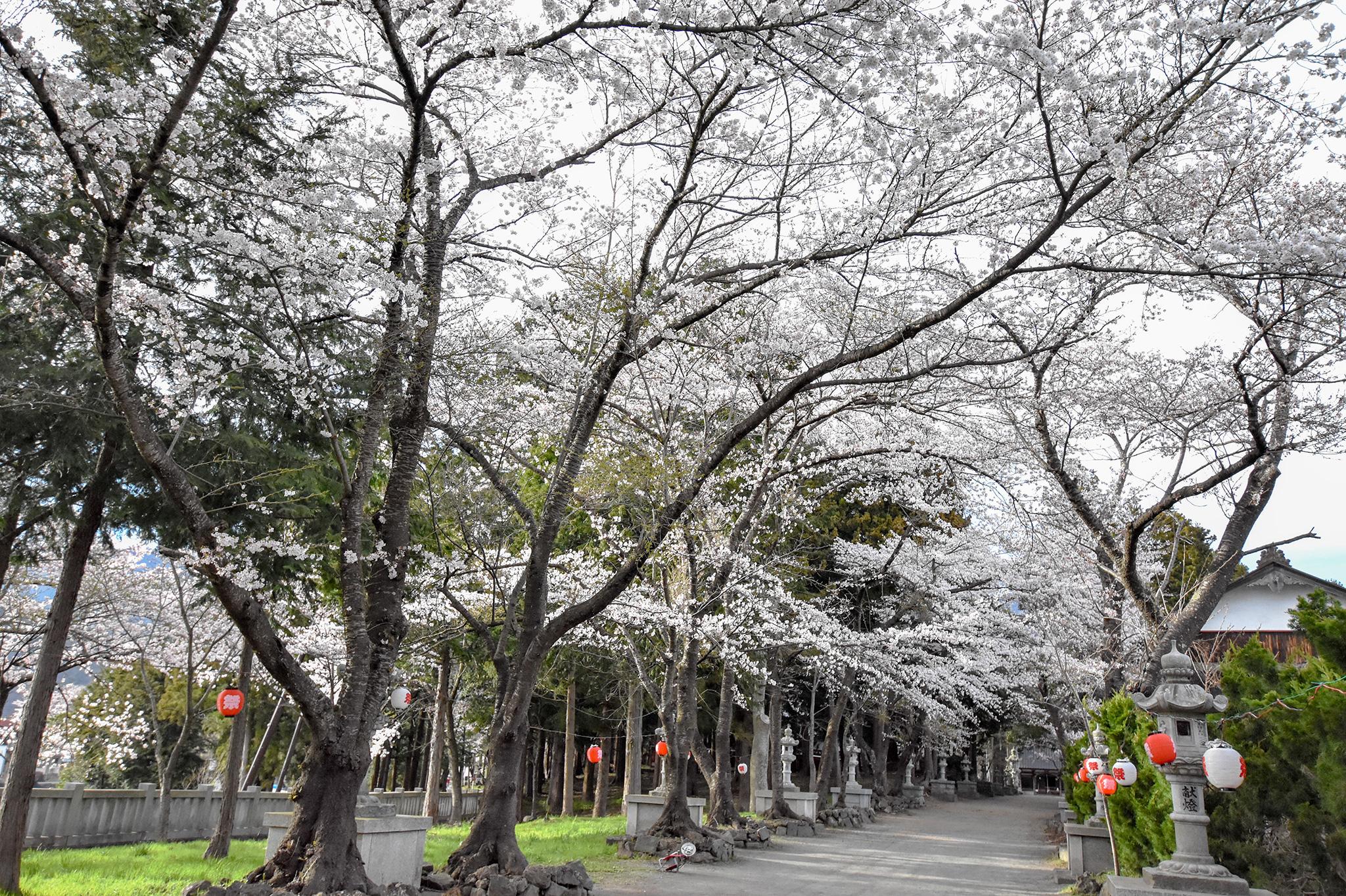 富士御室浅間神社の桜 写真2