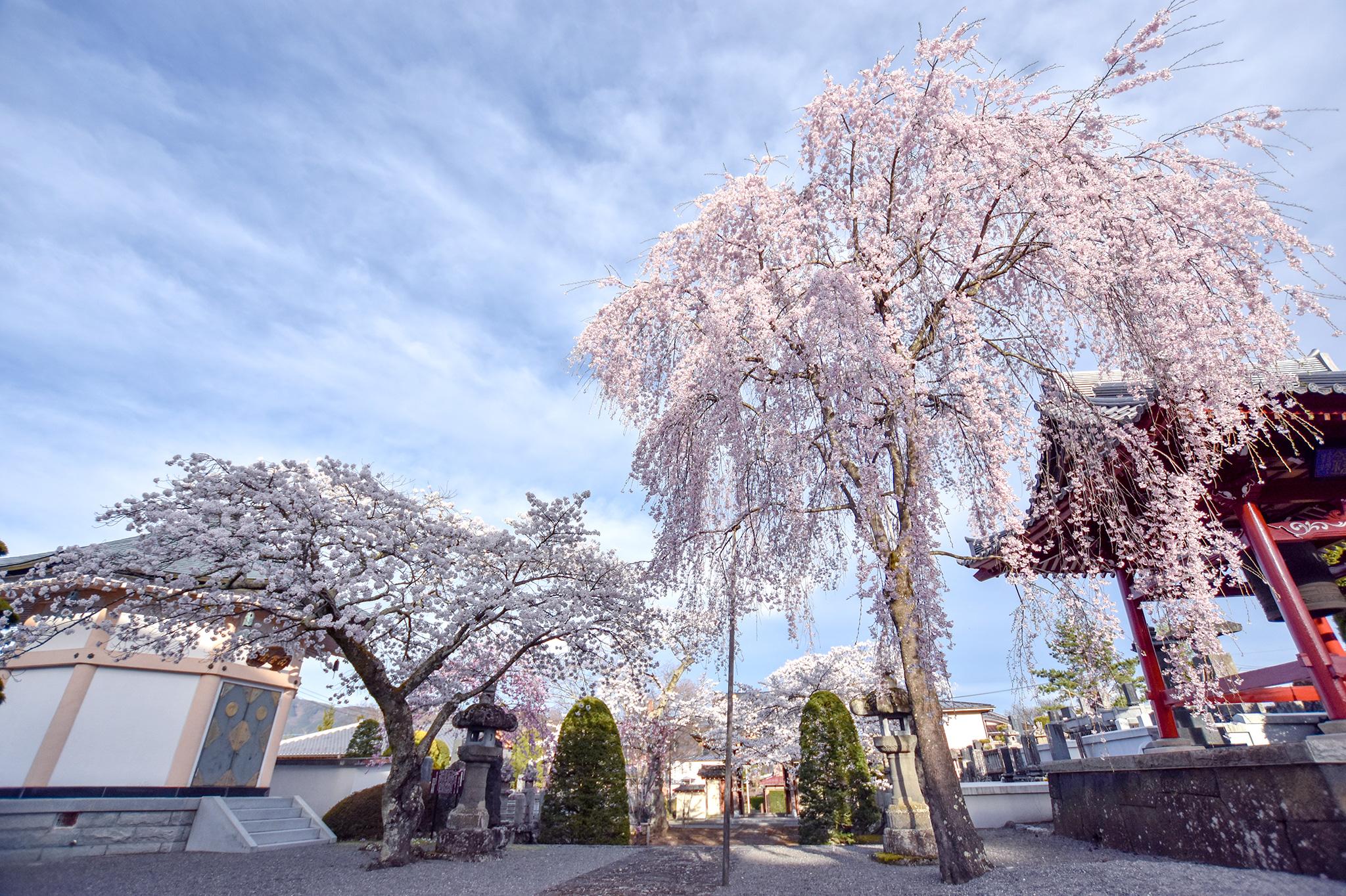 富士御室浅間神社の桜 写真3