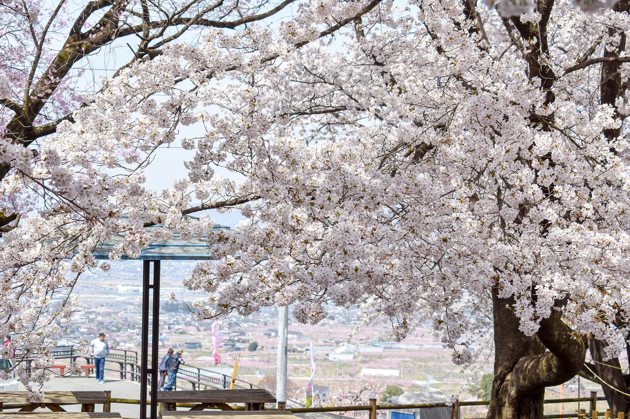 花鳥山一本杉公園の桜 写真1