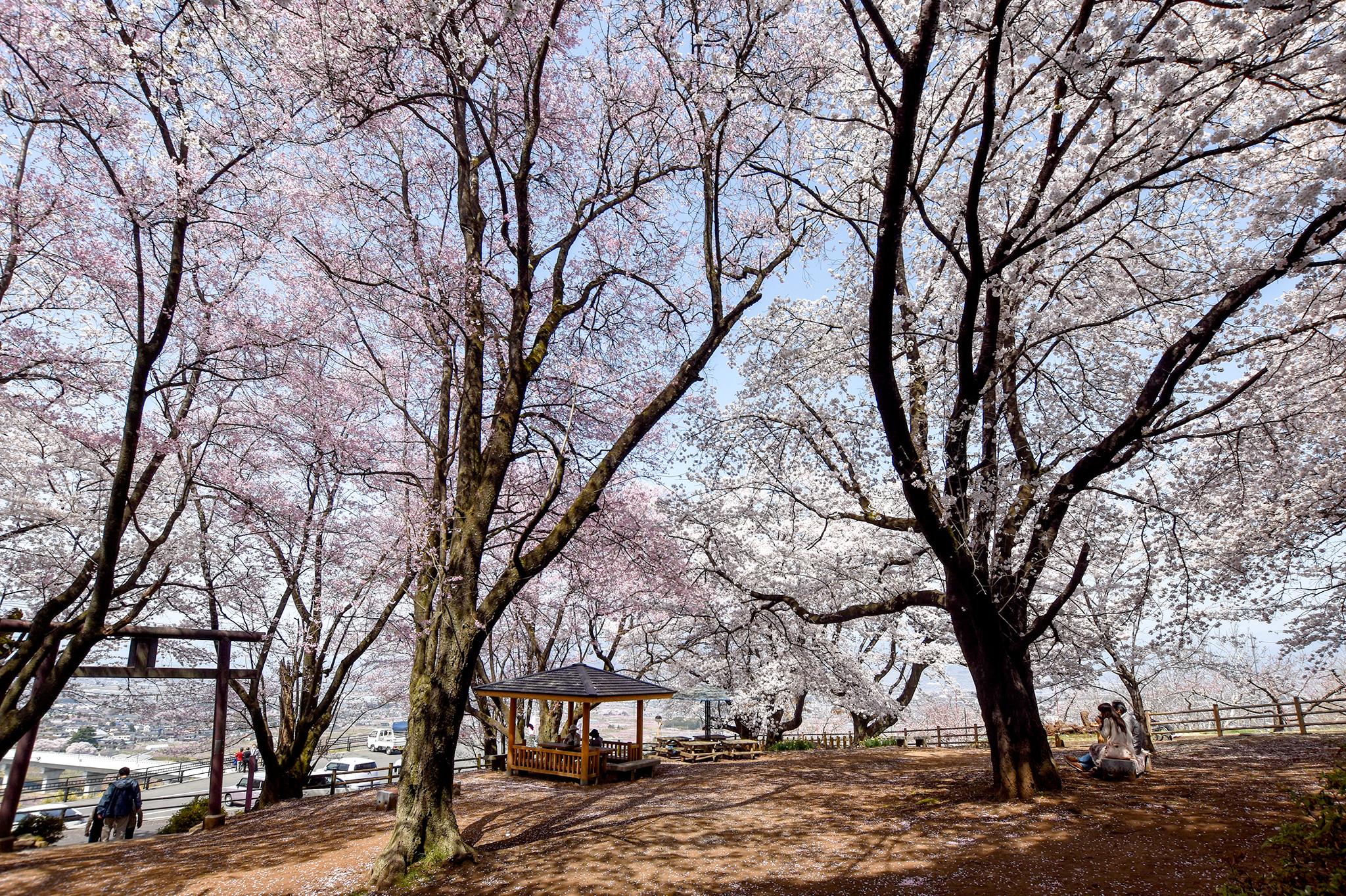 花鳥山一本杉公園の桜 写真2