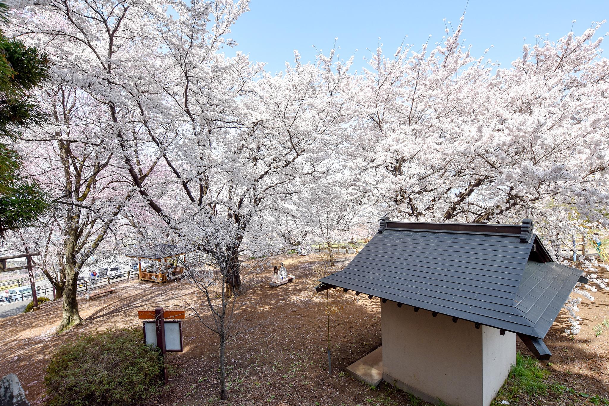 花鳥山一本杉公園の桜 写真3