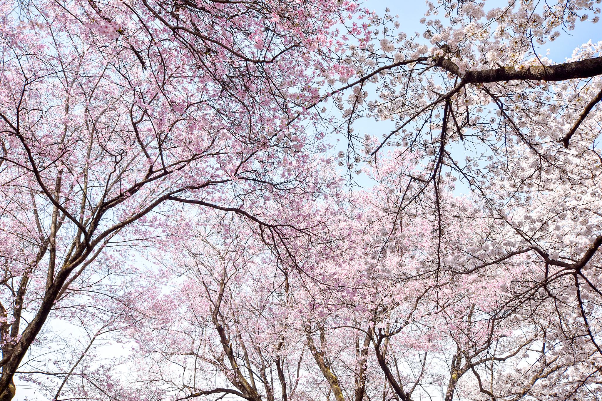 花鳥山一本杉公園の桜 写真4