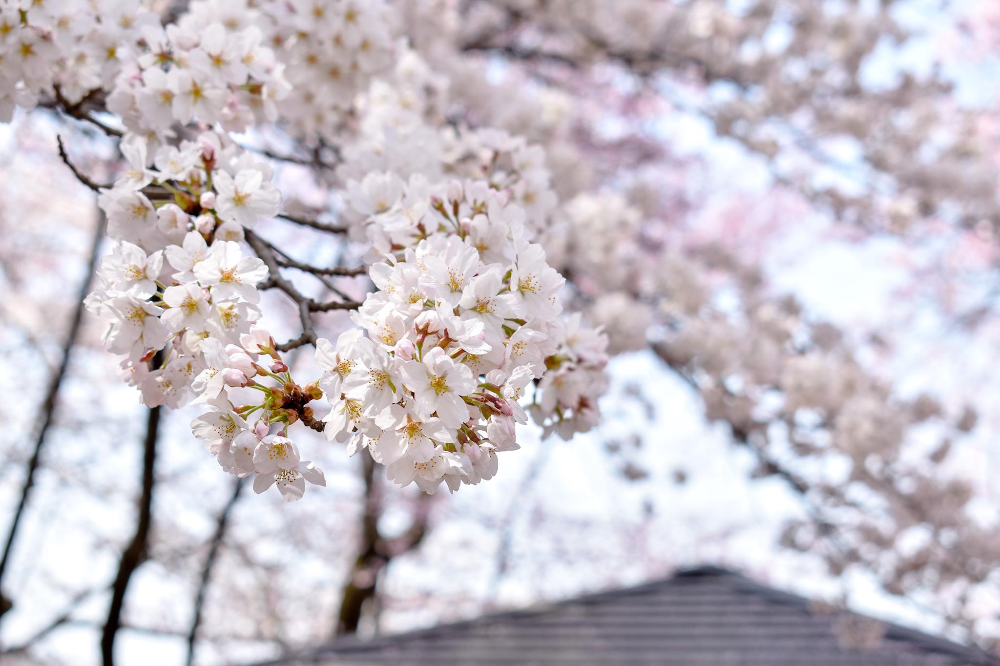 花鳥山一本杉公園の桜 写真5