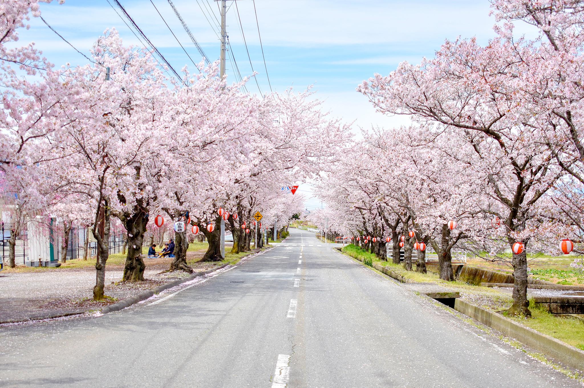 憩いの桜並木 写真1