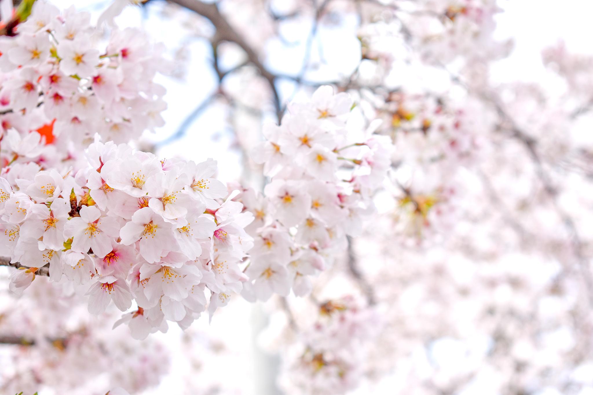 憩いの桜並木 写真3