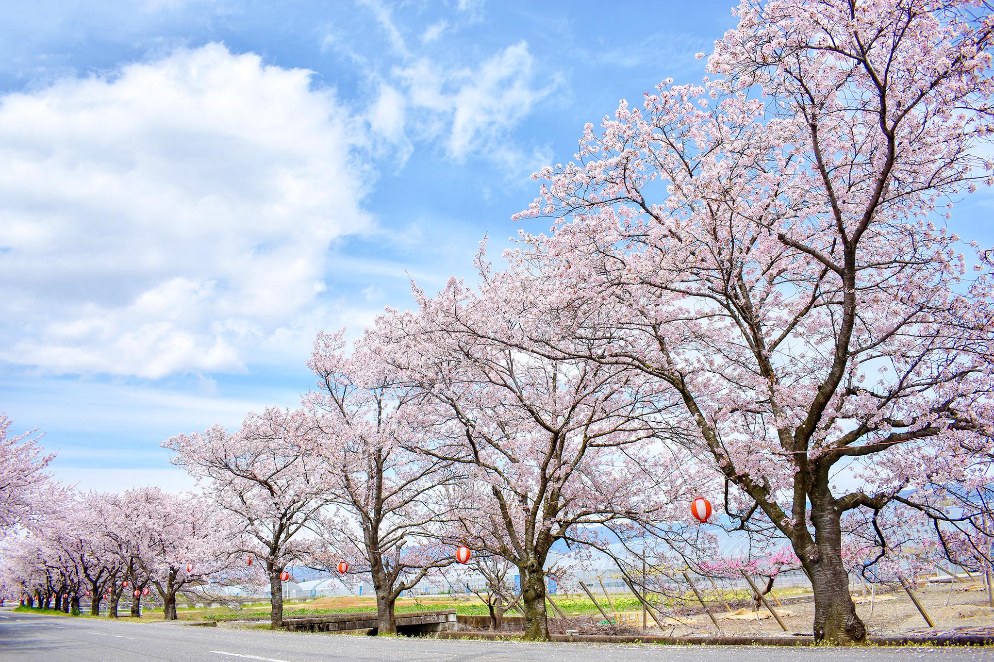 憩いの桜並木 写真4