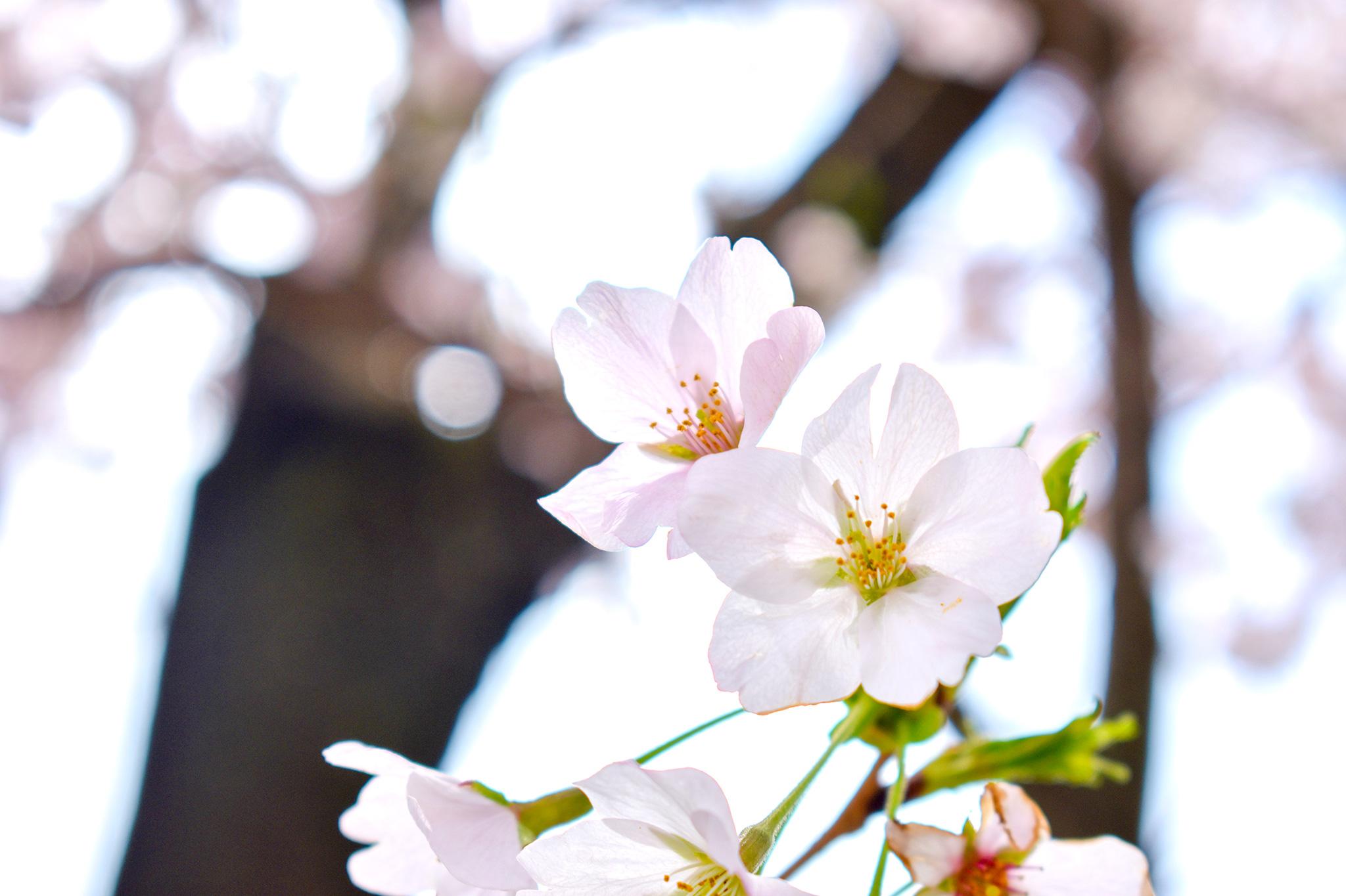 憩いの桜並木 写真5