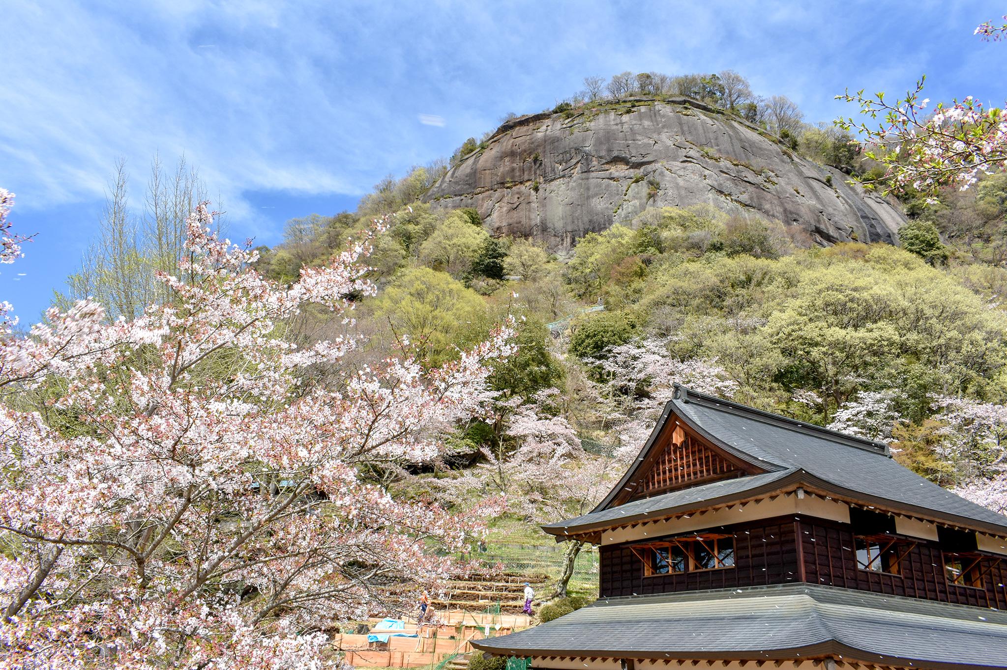 岩殿山の桜 写真1