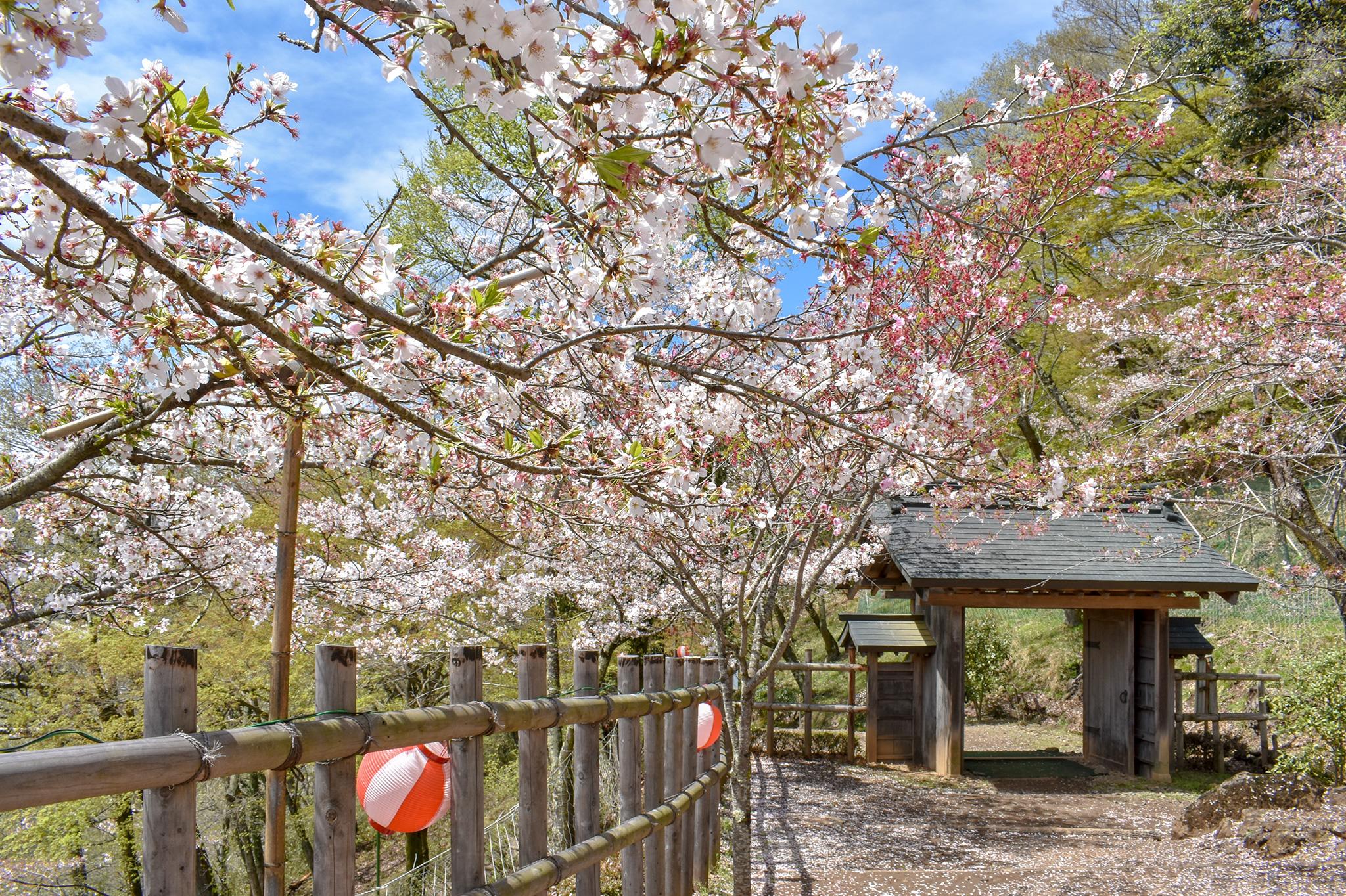 岩殿山の桜 写真3