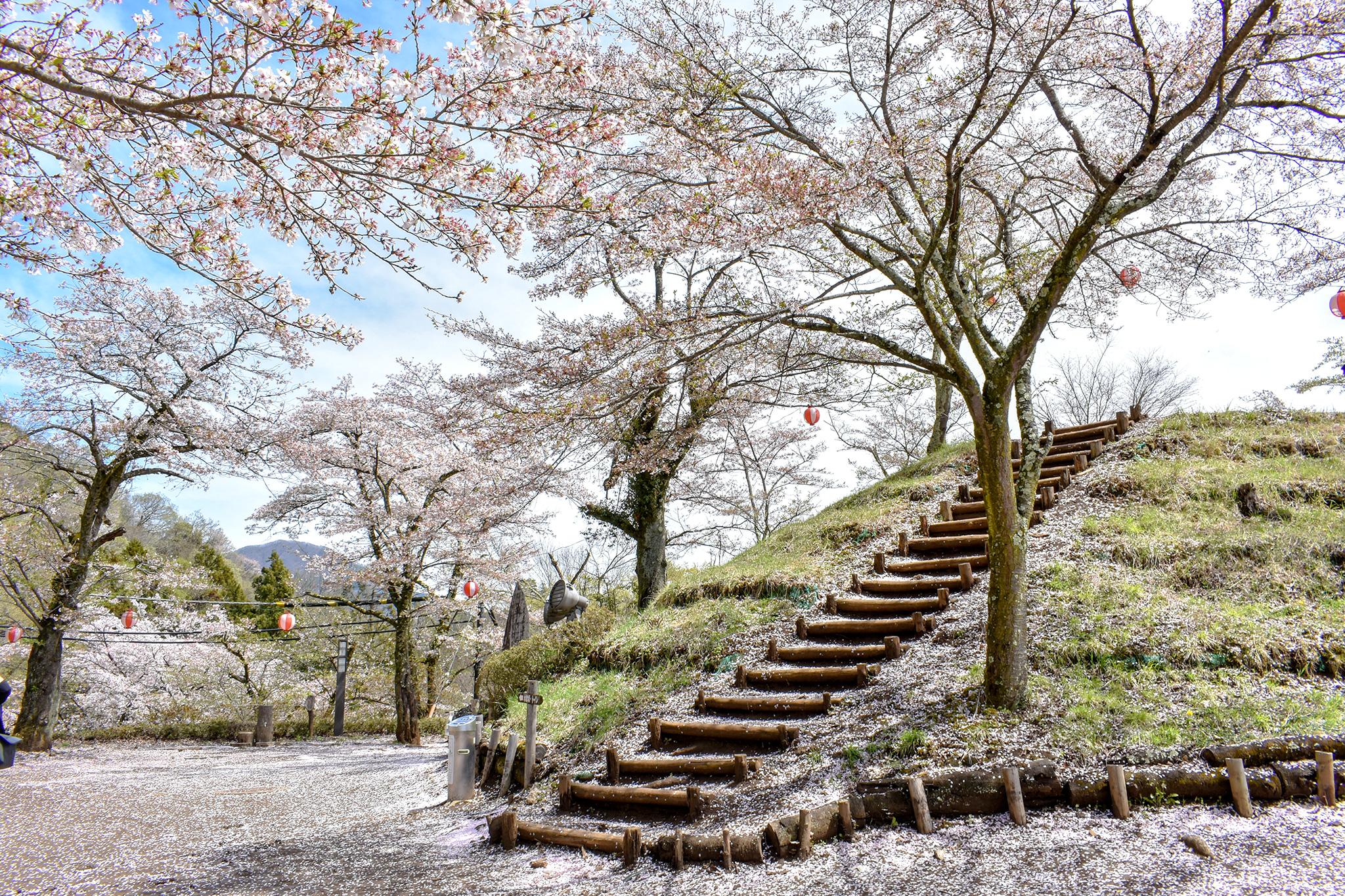 岩殿山の桜 写真4