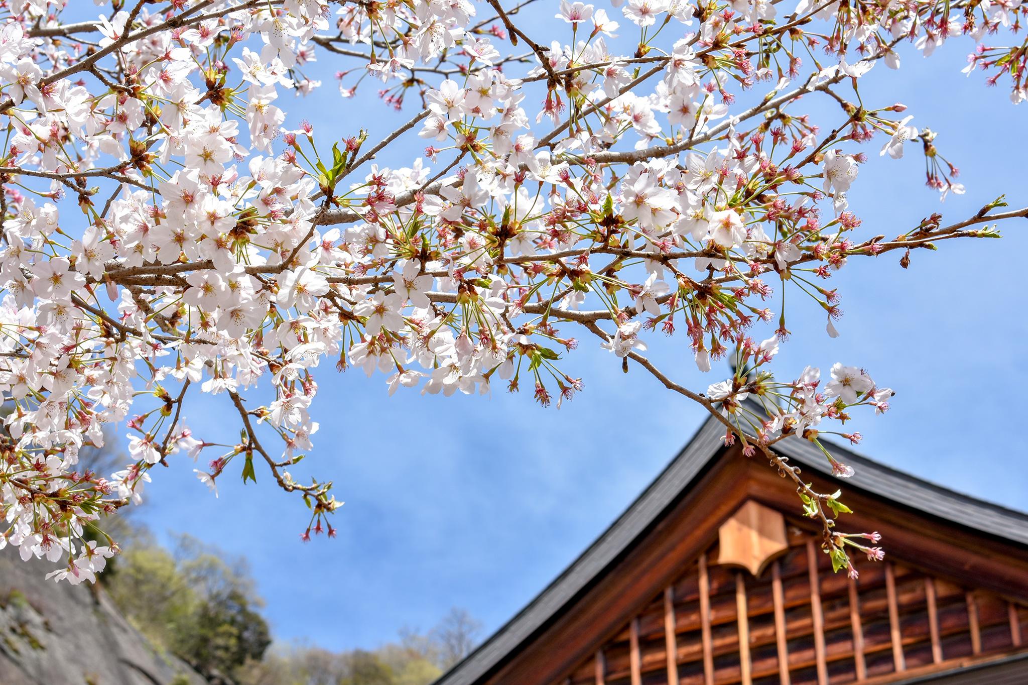 岩殿山の桜 写真5