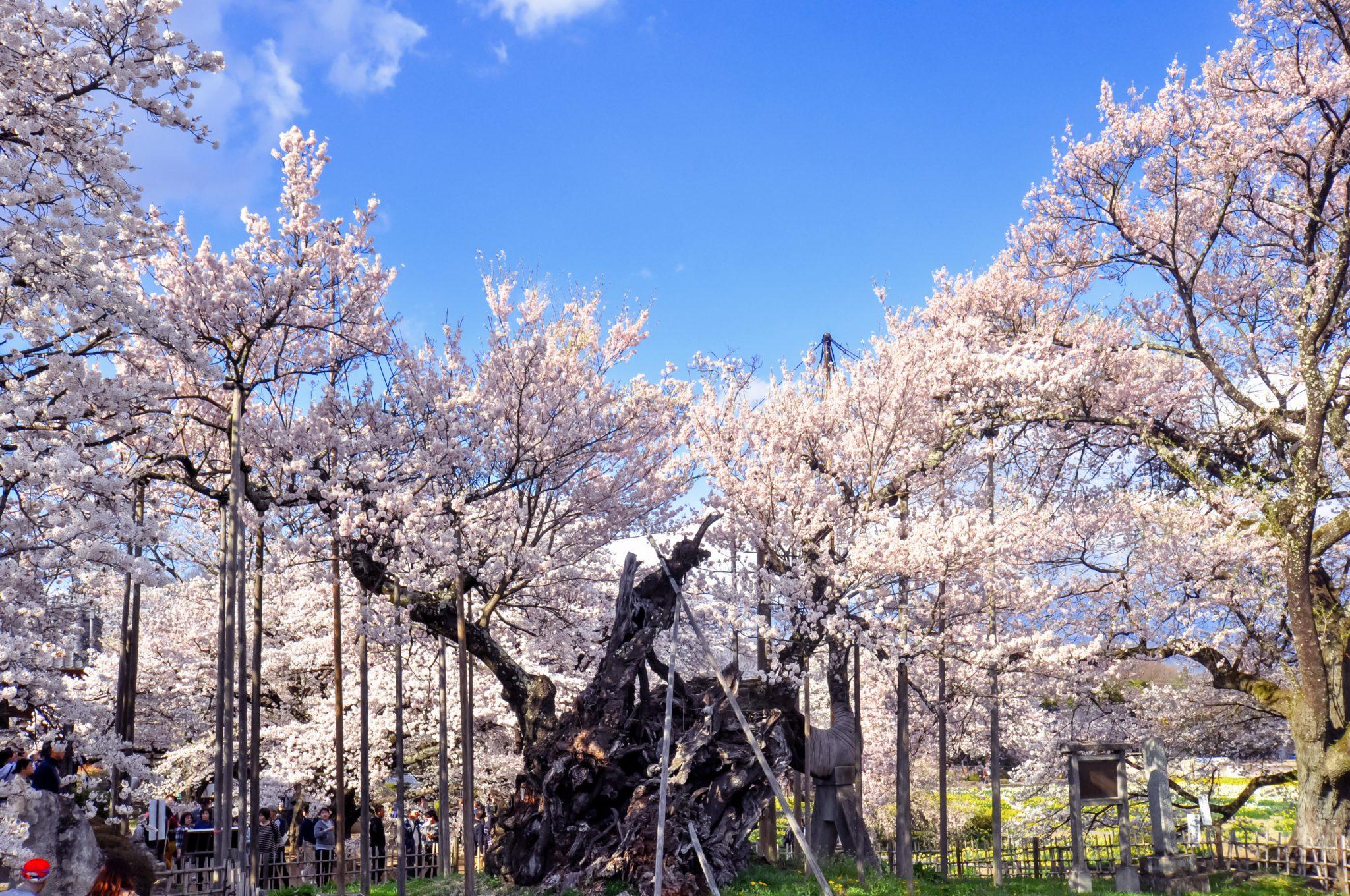 山高神代桜 写真1