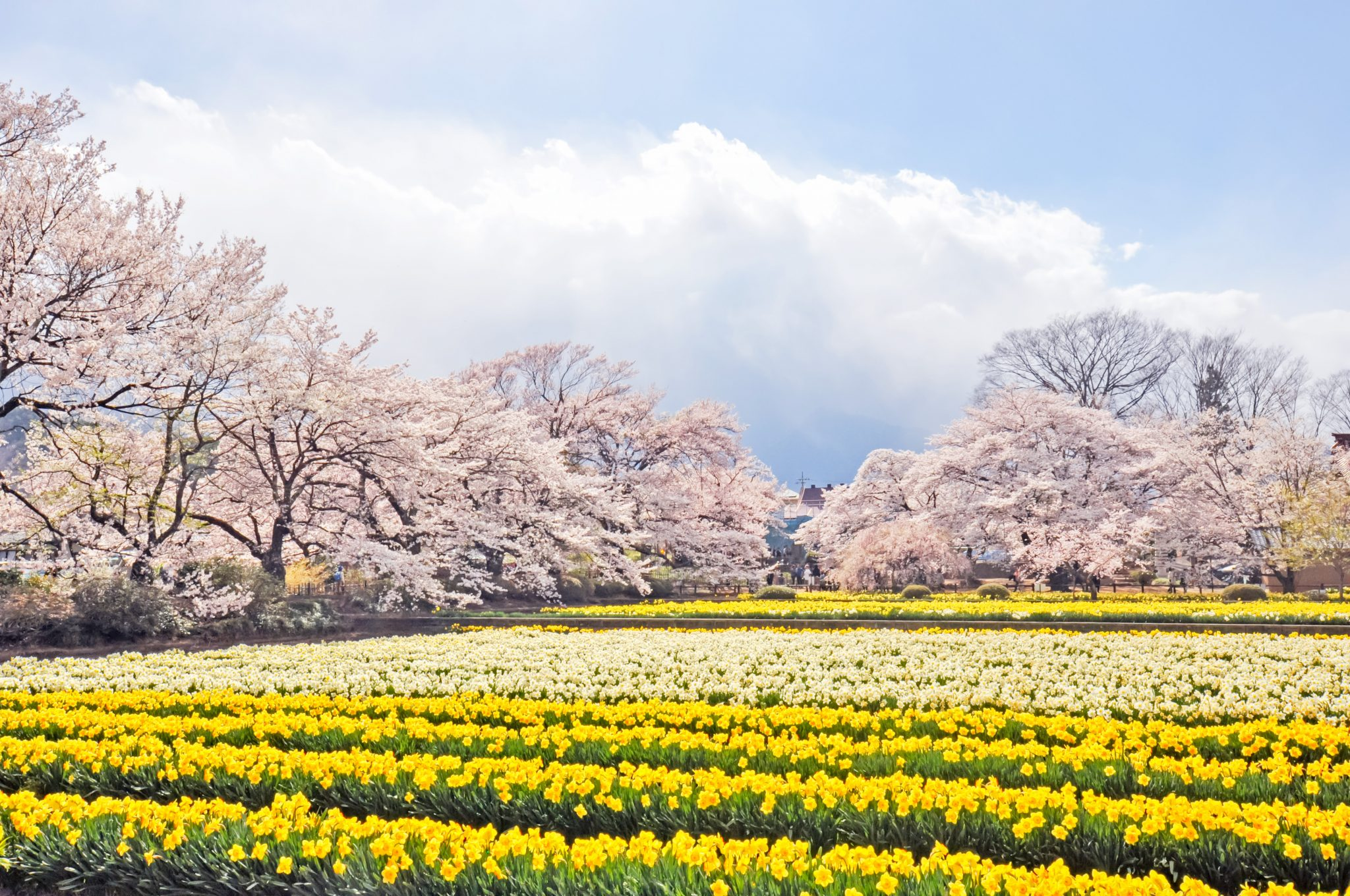 山高神代桜 写真2