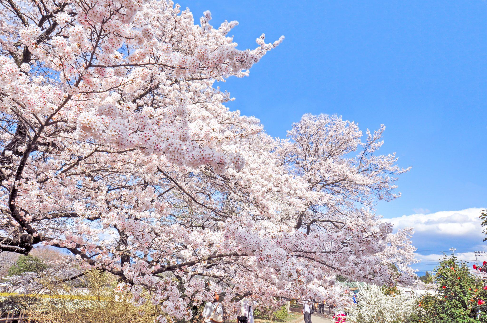 山高神代桜 写真3