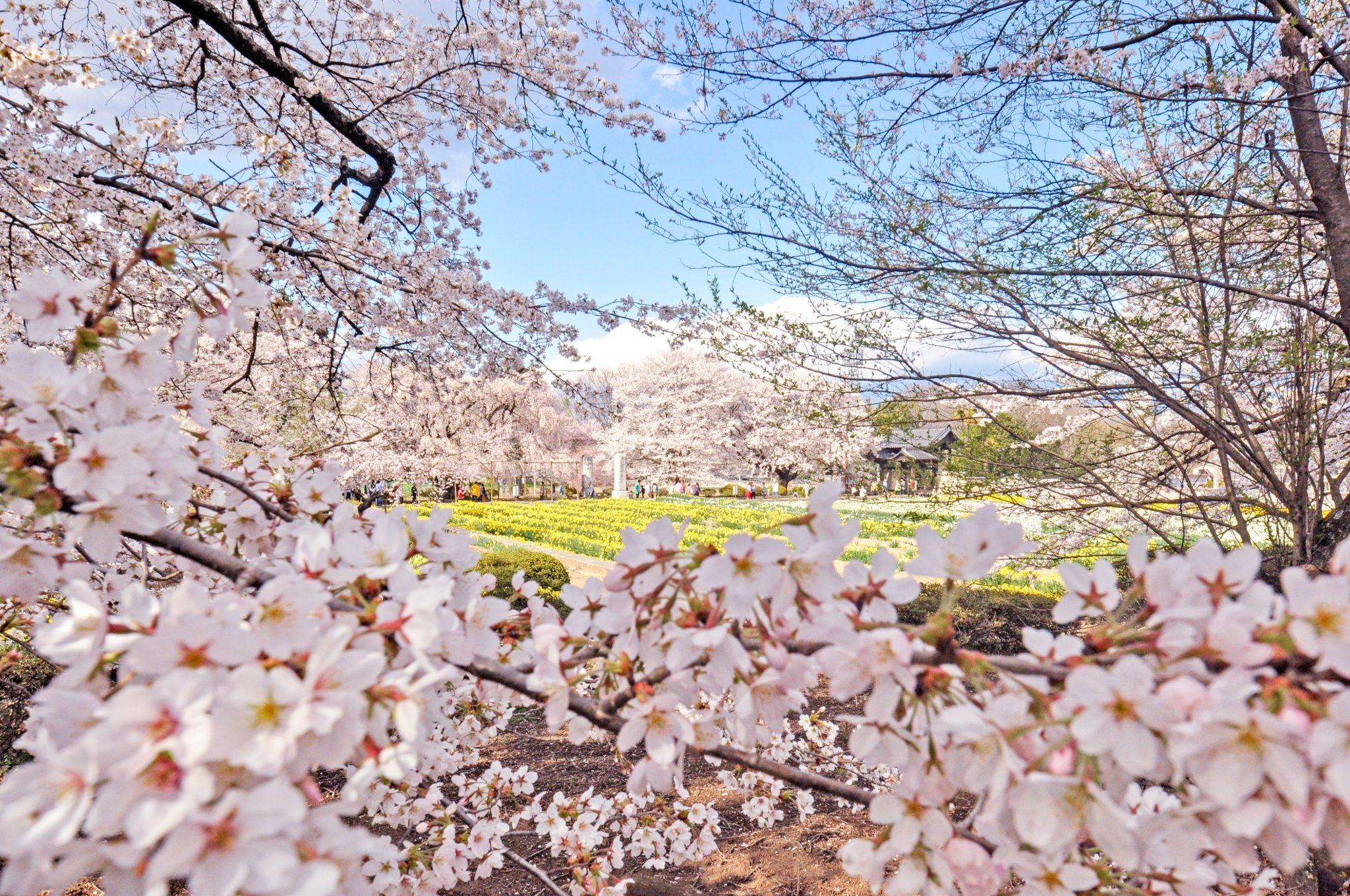 山高神代桜 写真4