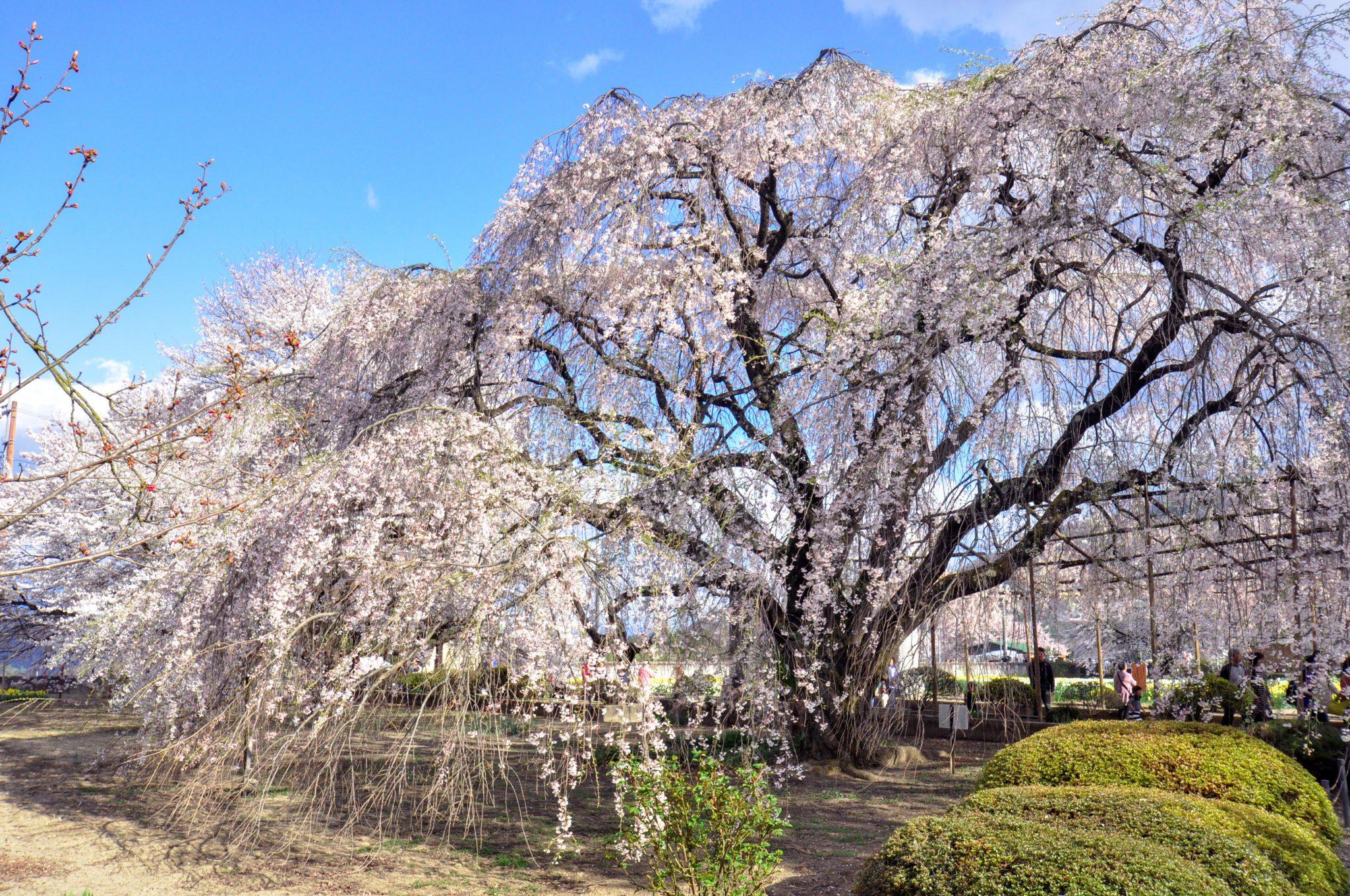 山高神代桜 写真5
