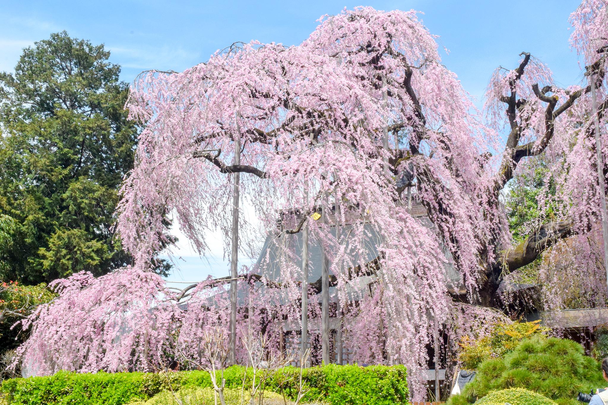 慈雲寺の桜 写真1