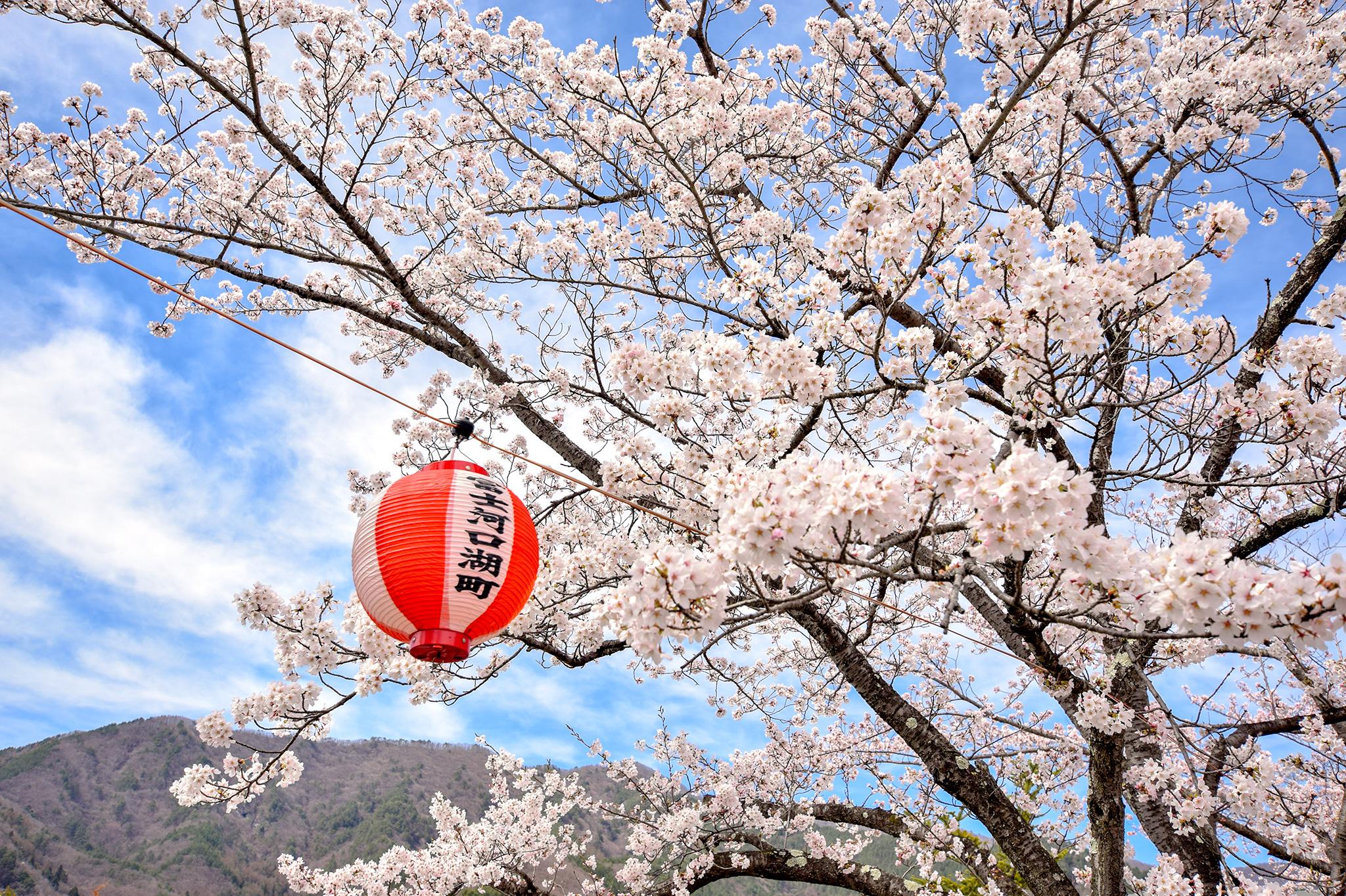 河口湖北岸の桜 写真3