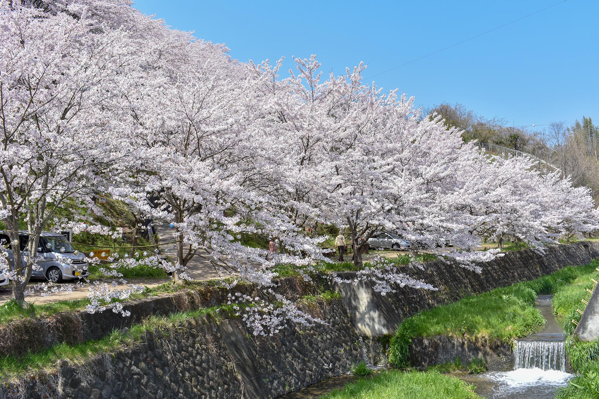 荒神山の桜 写真1