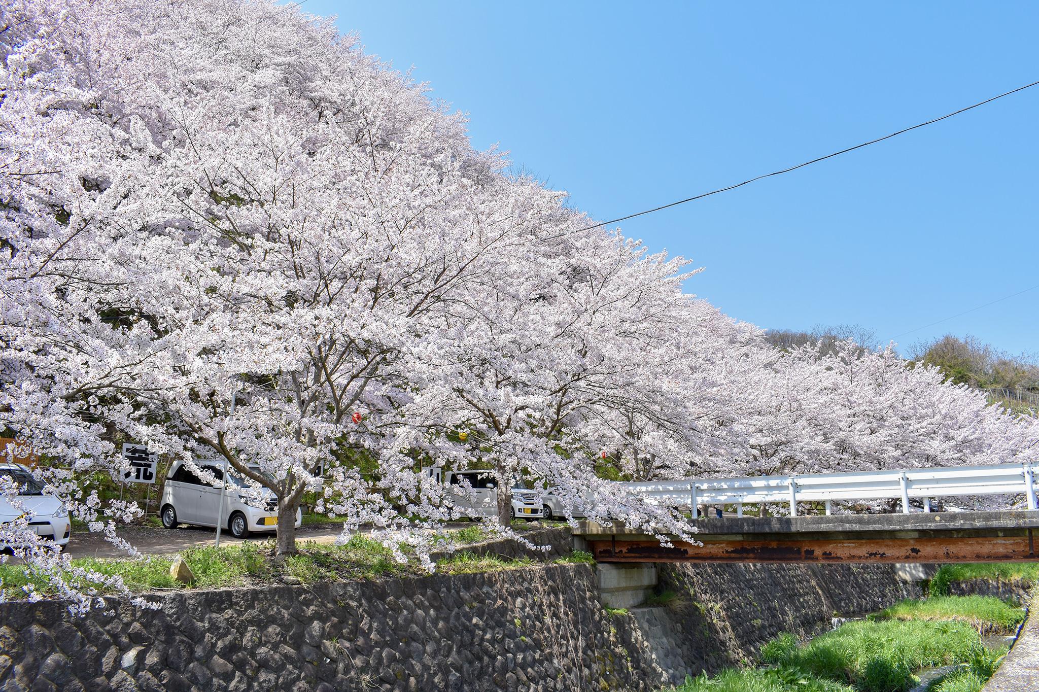 荒神山の桜 写真2