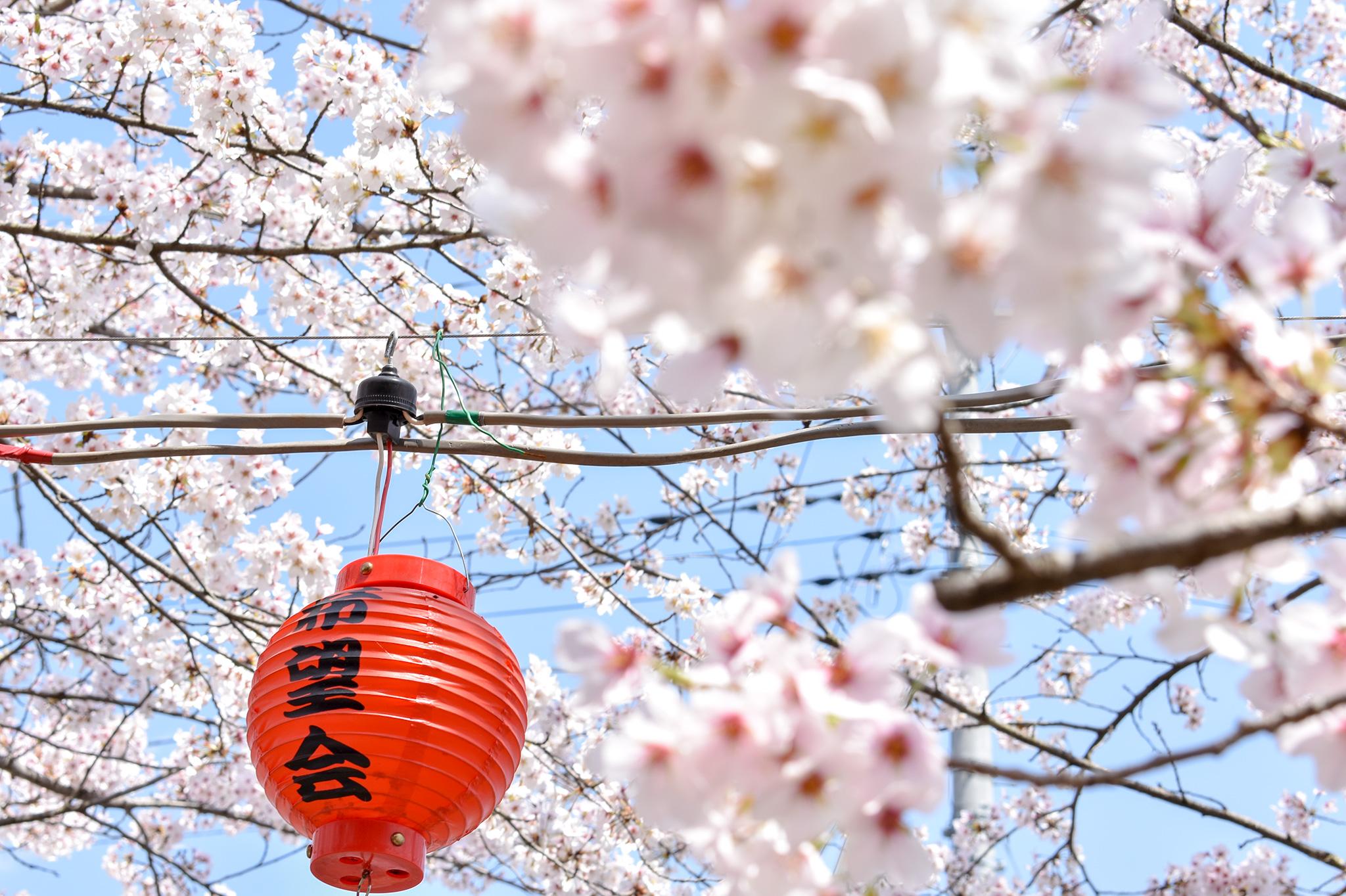 荒神山の桜 写真4
