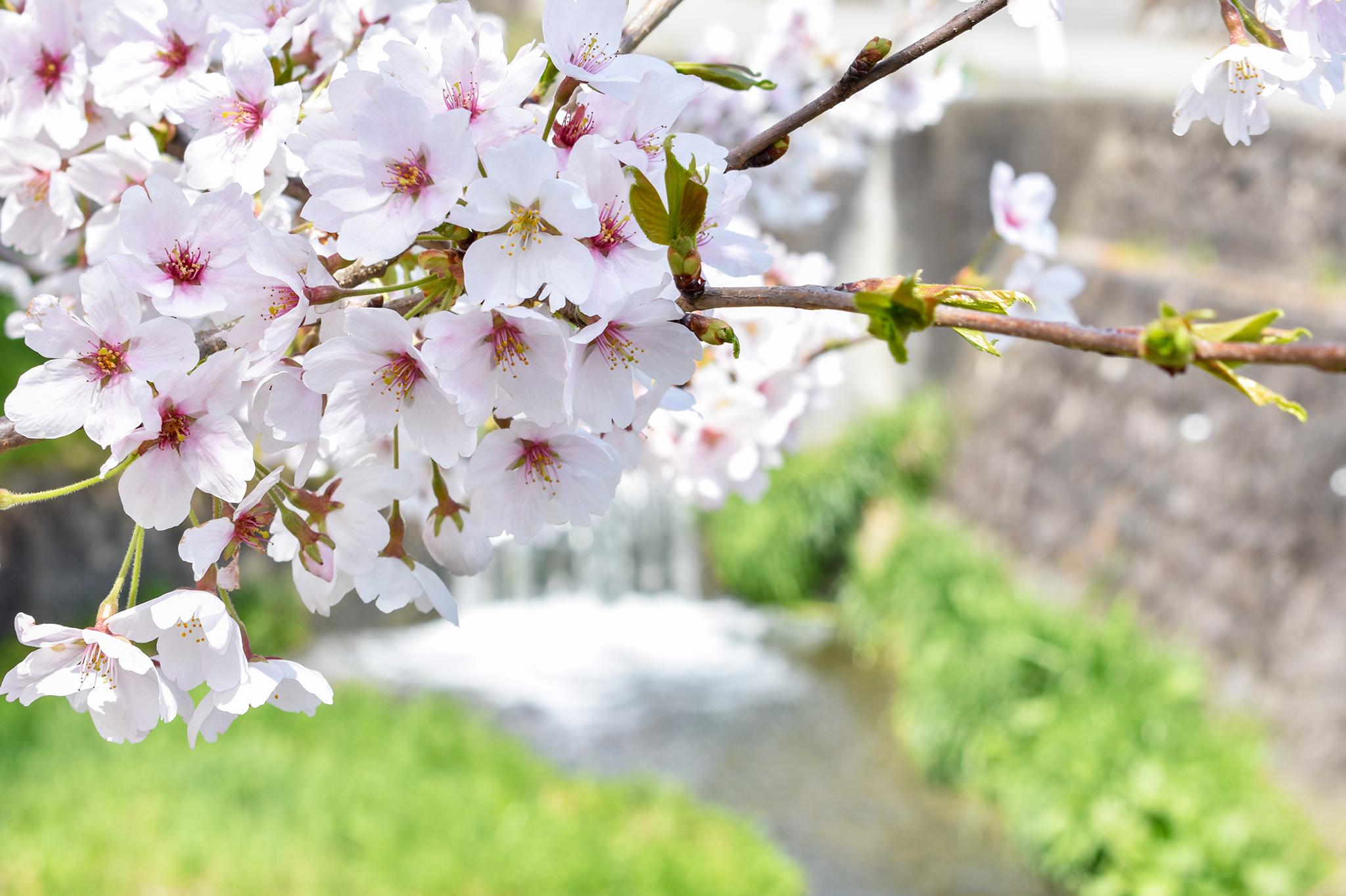 荒神山の桜 写真5
