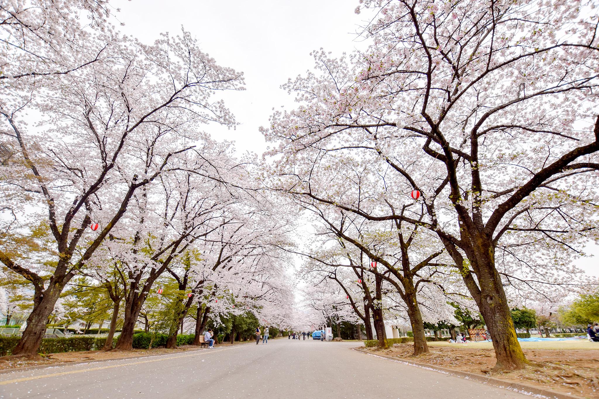 小瀬スポーツ公園の桜 写真2