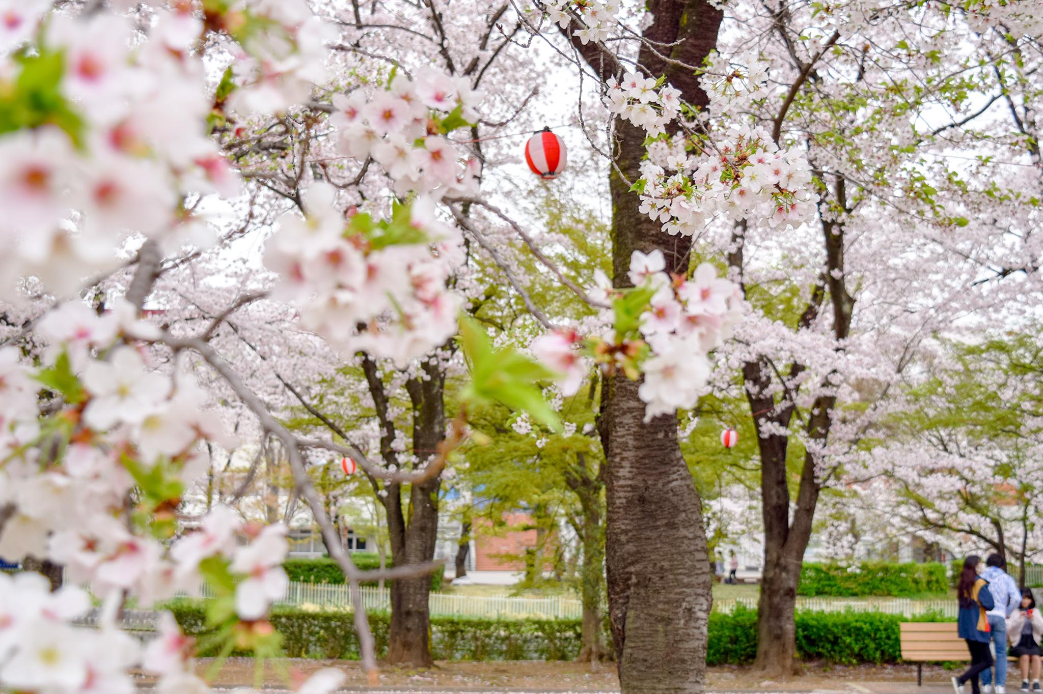 小瀬スポーツ公園の桜 写真3