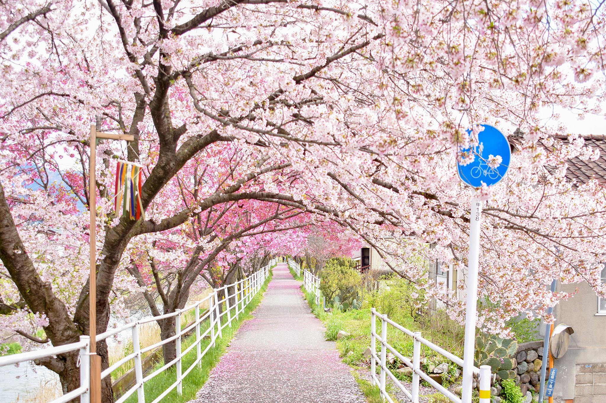 貢川遊歩道の桜 写真1
