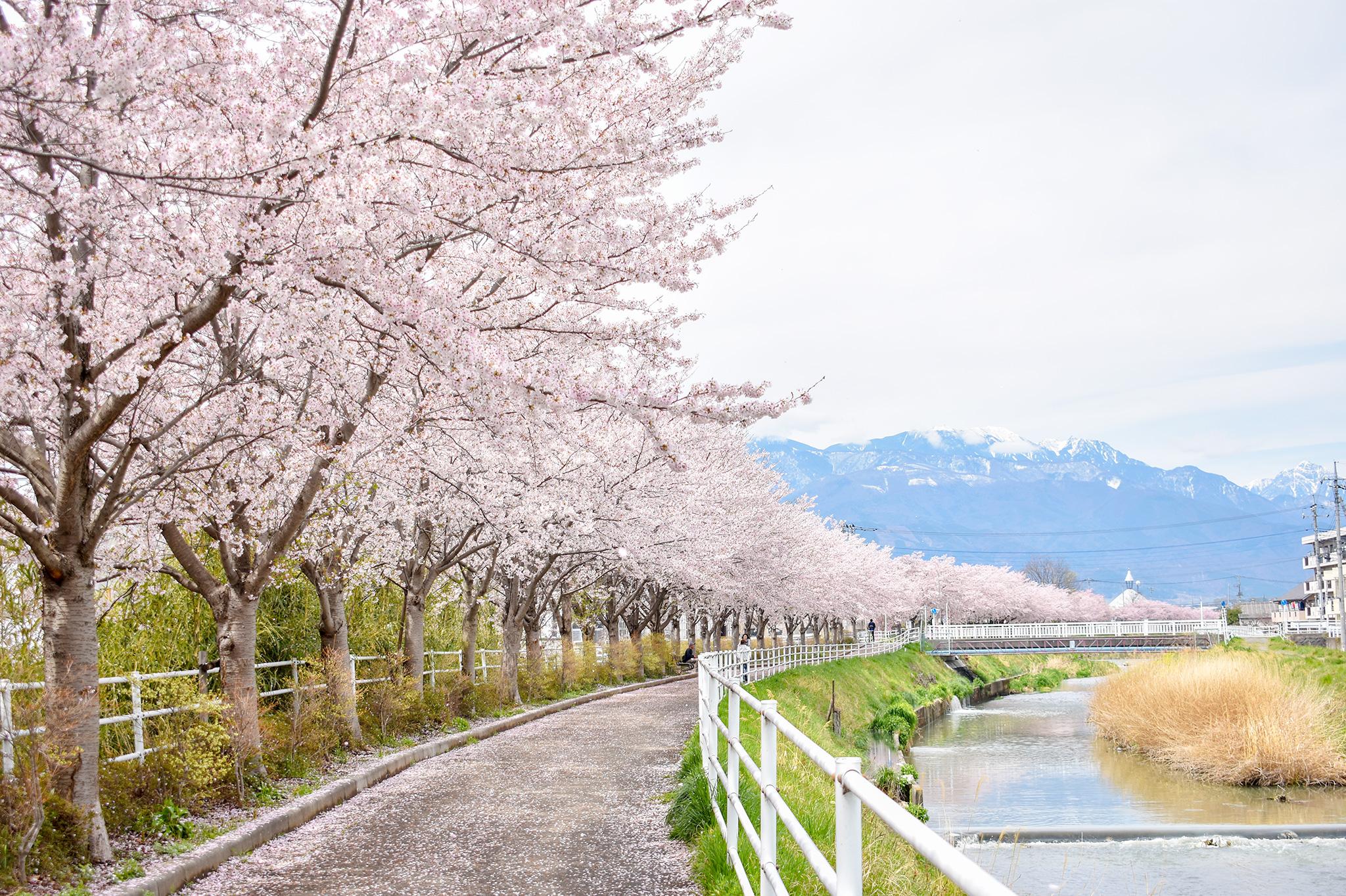 貢川遊歩道の桜 写真2