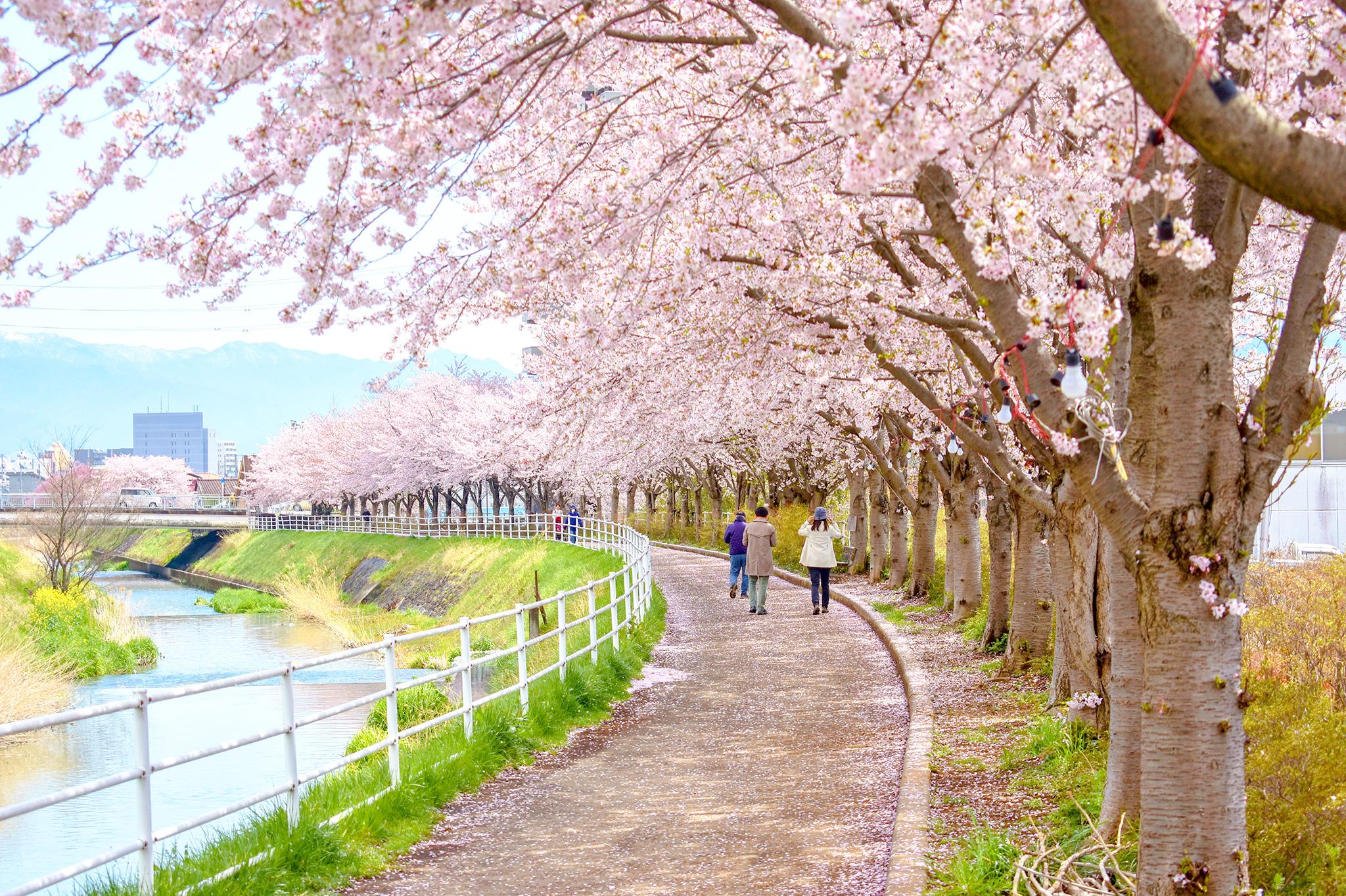 貢川遊歩道の桜 写真3