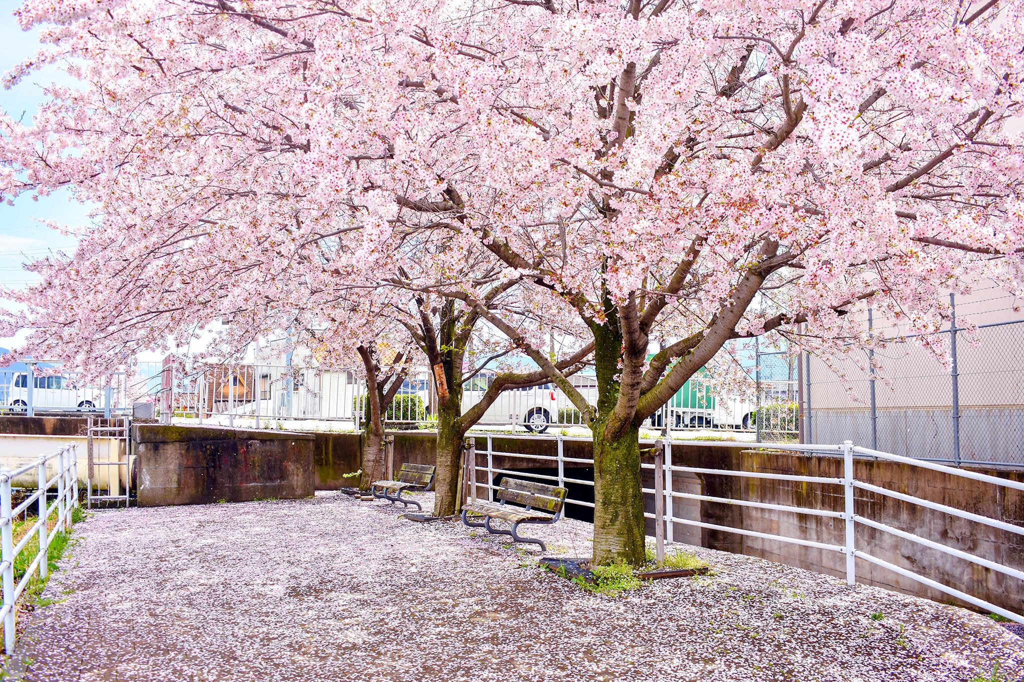 貢川遊歩道の桜 写真4