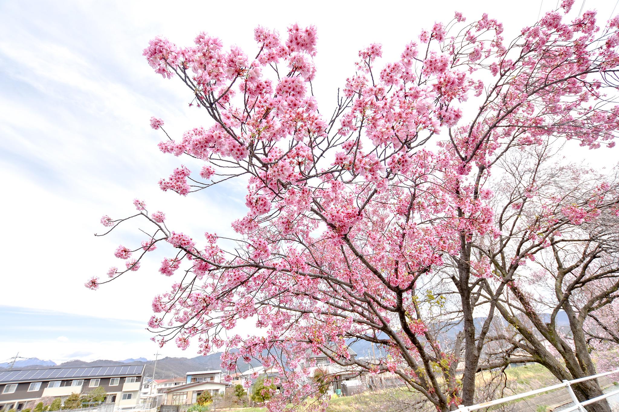貢川遊歩道の桜 写真5
