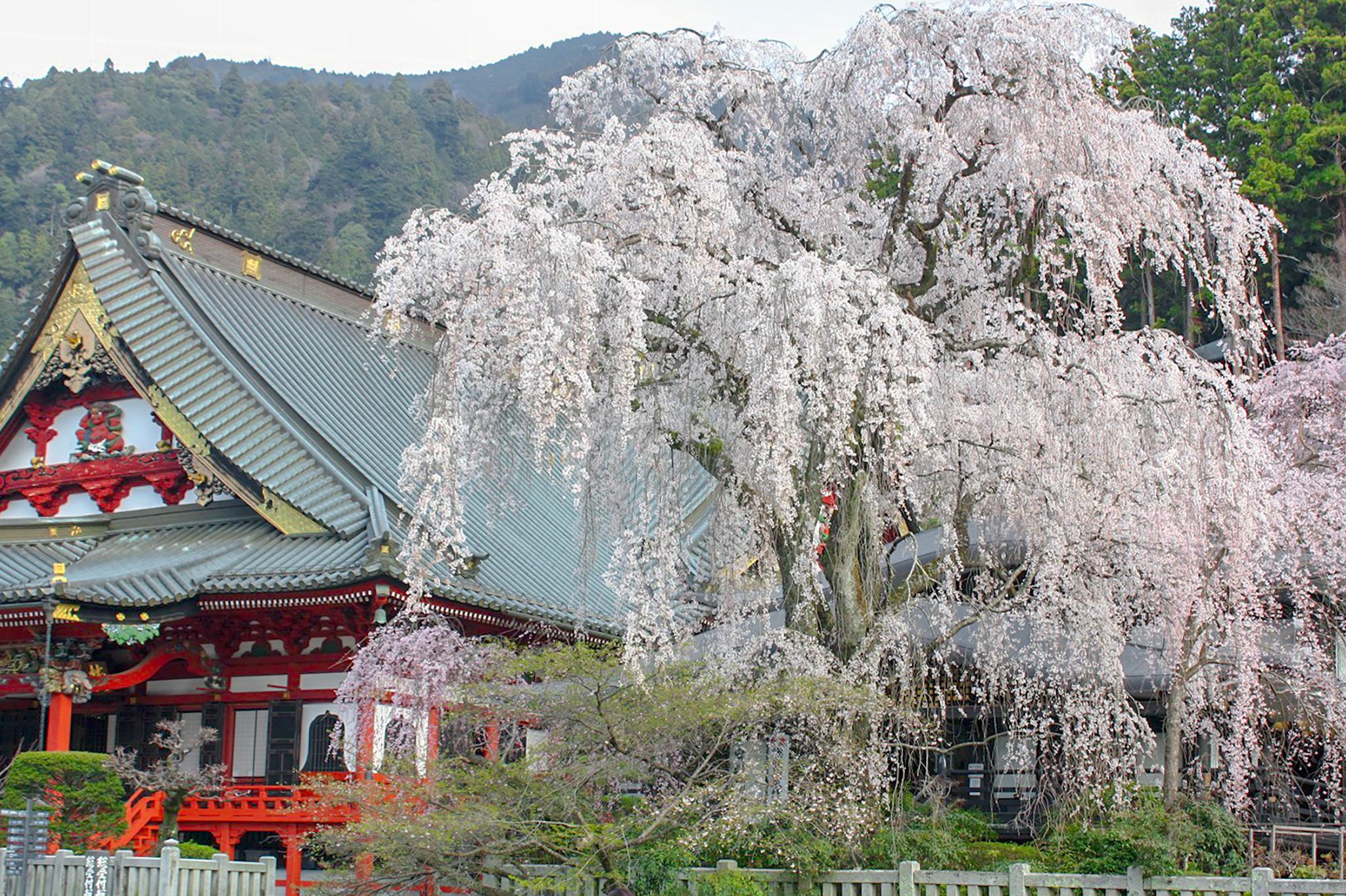 身延山久遠寺の桜 写真1